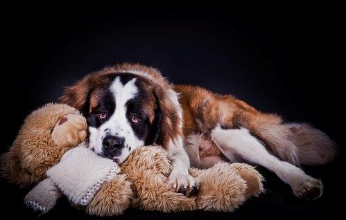 Puppy St Bernard with stuffed animal